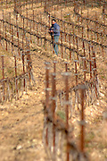 A man working in the vineyard tying vines at Chateau Saint Cosme, Gigondas, Vaucluse, Rhone, Provence, France