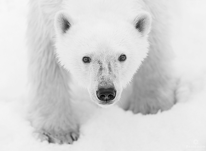 Close up portrait of a curious Polar Bear on sea ice at Torrellneset.  Nordaustland, Svalbard, Norway.