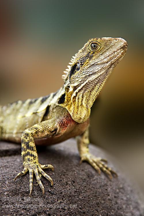 Eastern Water Dragon (Physignathus lesueurii) - Queensland