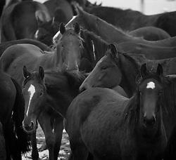 Horses in the snow<br /> Team Nijhof<br /> Photo© Dirk Caremans