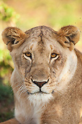 A Lioness rests and protects a nearby kill from vultures in Cottars Conservancy, Kenya