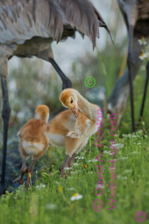 Downy sandhill crane colts are dwarfed under their long-legged parents, © David A. Ponton