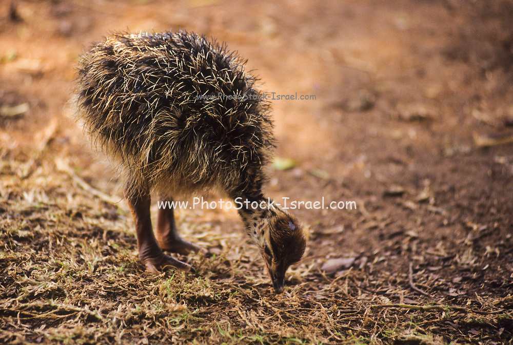 young Hatchlings of the Common Ostrich (Struthio camelus)