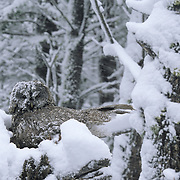Great Gray Owl (Strix nebulosa) adult keeping its chicks in the nest during a late spring snow storm. They are almost ready to fledge. Montana
