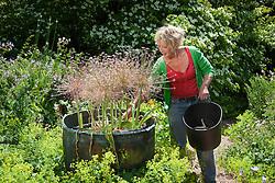 Carol Klein removing tatty foliage from Allium schubertii in copper pot