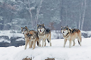 Pack of Gray wolves (Canis lupes)in northern Minnesota during winter