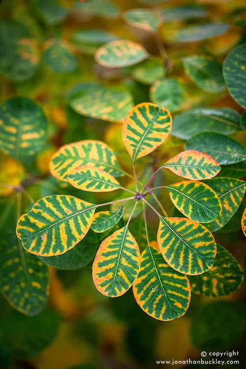 Autumn colouring just appearing on the leaves of Cotinus cogyggria after the first cold nights