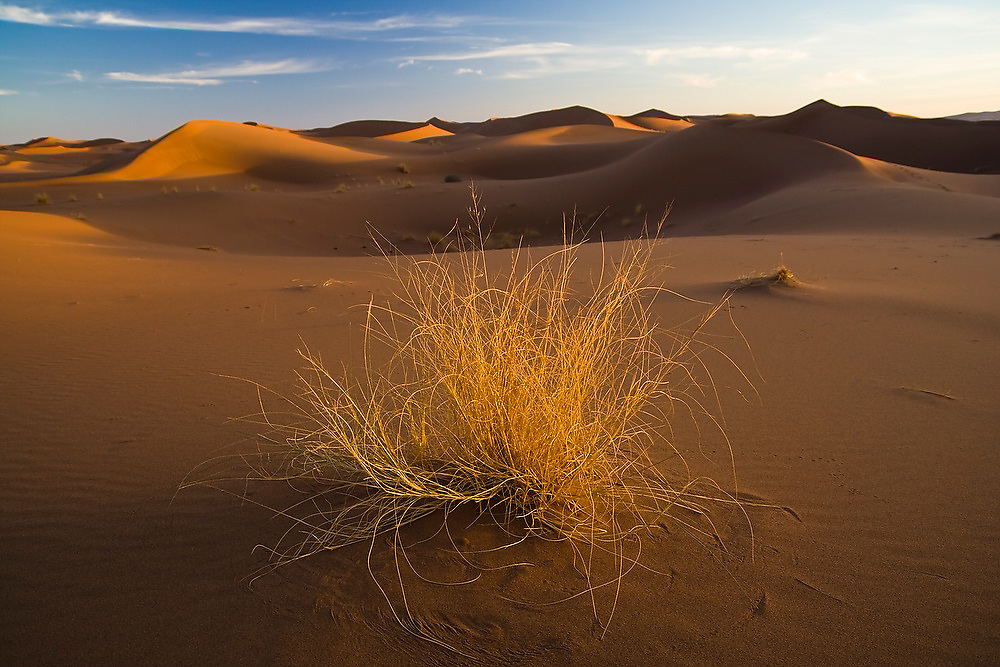 A lonely bush is highlighted by a low angled sun at the large sand dunes of Erg Zehar, near M'hamid Morocco.