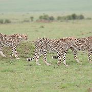 A trio of male Cheetah (Acinonyx jubatus) siblings. Serengeti Plains. Masai Mara National Reserve, Kenya, Africa