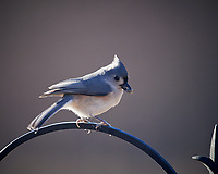 Tufted Titmouse. Image taken with a Nikon D5 camera and 600 mm f/4 VR lens (ISO 900, 600 mm, f/4, 1/1250 sec).