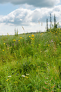 Summer wildflower meadow in Riding Mountain National Park, Manitoba