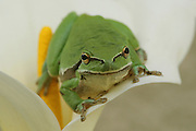 European tree frog, Hyla arborea, On a lily Israel
