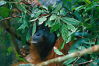 Adult male orangutan (Pongo pygmaeus) named Jari Manis uses a handfull of leafy branches to shield himself from a rain shower.