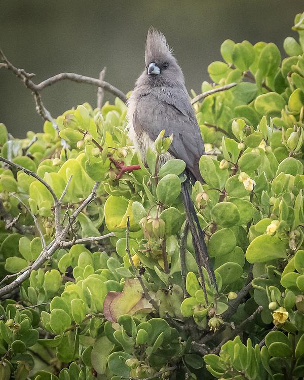 Colius colius, South Africa