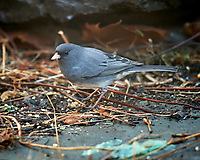Dark-eyed Junco. Image taken with a Nikon D5 camera and 600 mm f/4 lens (ISO 1600, 600 mm, f/4, 1/60 sec)