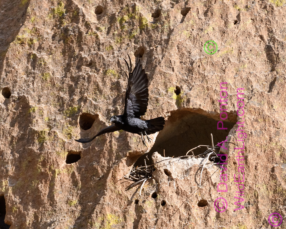 Raven flies out from small cave in cliff in which it is building a nest, Jemez Mountains, NM, © David A. Ponton