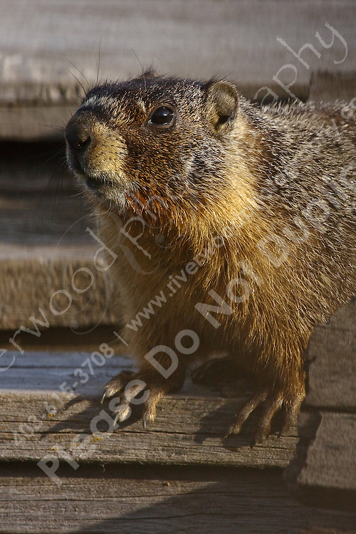 We were driving to a new location when I looked over and saw big furry things scurrying off of a woodpile.  We stopped and found this Marmot sunning itself on the woodpile...©2009, Sean Phillips.http://www.Sean-Phillips.com