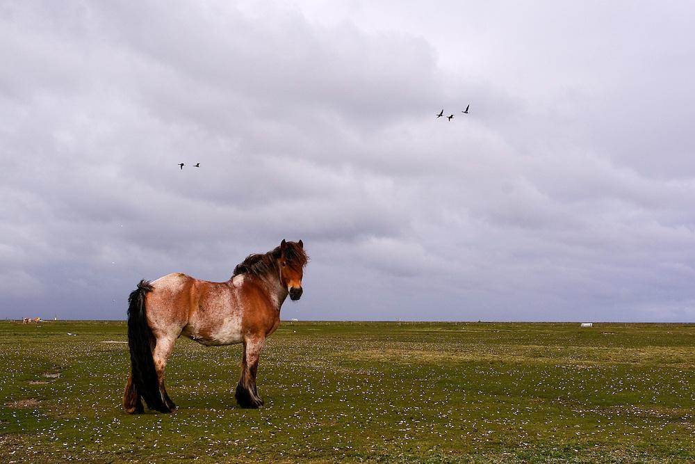 22.04.2009<br /> Horse<br /> Hallig Hooge, Germany
