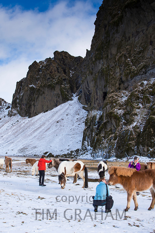 Tourists with herd of Icelandic ponies in South Iceland