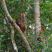 An orangutan mother building a nest for the night while her baby looks on at tourists in Tanjung Puting National Park. Central Kalimantan region, Borneo.