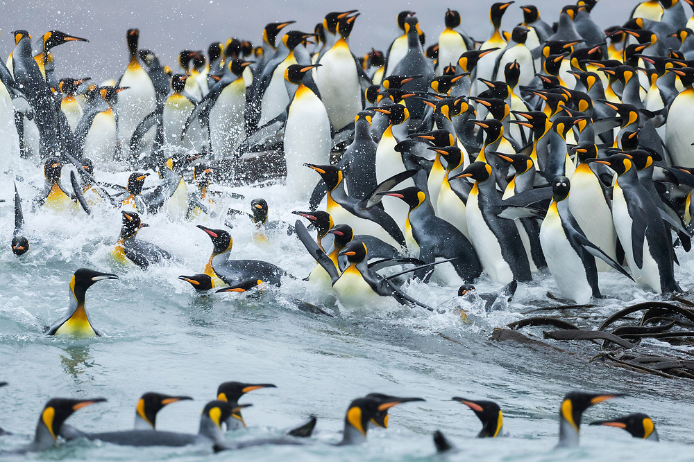 King penguins dives into the water on Friday, Feb. 2, 2018 in St. Andrew's Bay, South Georgia. (Photo by Ric Tapia)