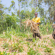 CAPTION: Fidelis and Andris work together, packing 'mulch' (dried organic matter such as maize stalks and dried grass) between rows of their vegetables. LOCATION: Nsanja-Seze, Vila Ulongwe area, Angonia District, Tete Province, Mozambique. INDIVIDUAL(S) PHOTOGRAPHED: Fidelis Dickson (left) and Andris Dickson (right).