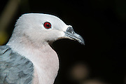 Pacific pigeon (Ducula pacifica)<br /> Fiji. South Pacific