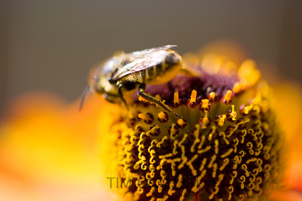 Honey bee gathering nectar and covered in pollen from Echinacea herbaceous border plant
