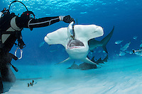 Lupo Dion hand feeds a Great Hammerhead Shark<br /> <br /> Shot in Bimini, Bahamas