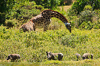 Giraffes and wild boar feeding in the bushes in Africa. Wildlife and nature photography wall art.