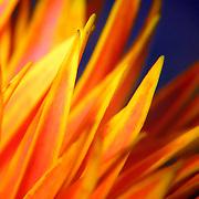Spiky petals 2, Brisbane, Australia (June 2002)