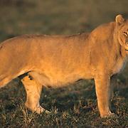 African Lion, (Panthera leo) Mature female. Masai Mara Game Reserve. Kenya. Africa.