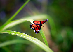27 August 2014. Lower 9th Ward, New Orleans, Louisiana.<br /> A monarch butterly rests on weeds.<br /> Photo; Charlie Varley/varleypix.com