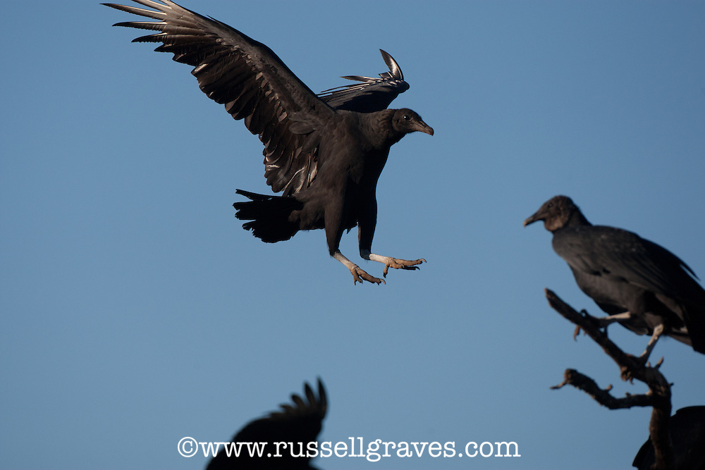 BLACK VULTURES IN AN OLD TREE