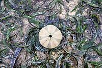 Sea urchin skeleton on exposed seagrass bed, Mombasa Marine Protected Area, Kenya