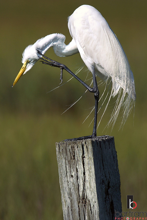 KEVIN BARTRAM/The Daily News.A Great White Egret scratches it's neck while sitting atop a fence post along Sportsman Road on Thursday, June 2, 2005. A variety of birds gather in the wetlands along the road on the west end of Galveston.