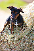 Black and tan Jack Russell puppy lying on a bed of hay, England, United Kingdom