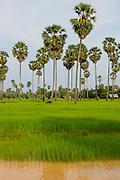 Rice Field, Kamphong Chhnang, Tonle Sap River,  Cambodia