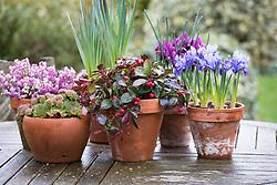 Pots display. Narcissus 'Quail', Sempervivum 'Rosie', Iris 'J.S. Dijt' and I.'Joyce' (Reticulata)