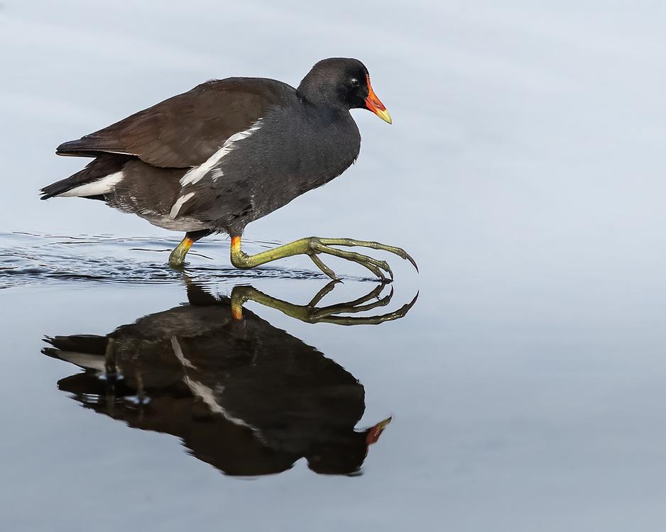 Gallinula galeata, South Padre Island Birding and Nature Center, south Texas, February 2020
