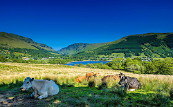 Cattle resting in the shade on a farm overlooking Loch Earn, Perthshire, Scotland<br /> <br /> (c) Andrew Wilson   Edinburgh Elite media
