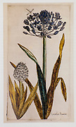 Copperplate print of Scilla peruviana (Portuguese squill or Peruvian Squill) printed in 1608