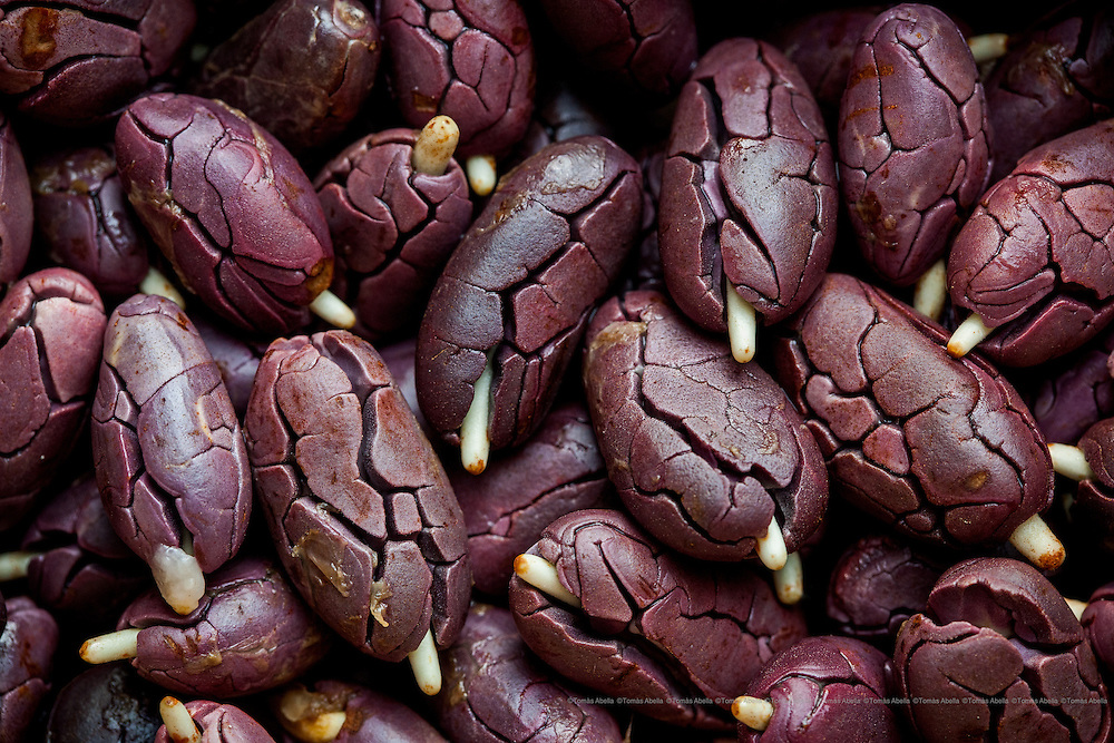 Saving Mexican criollo cocoa (Royal Cocoa of Soconusco).<br /> <br /> The genetic recovery of the Soconusco Royal Cocoa is one of the aims of the San Francisco of Asis Agro-ecology Centre (CASFA). They produce, select and preserve the criollo cocoa seeds. Tapachula. Mexico.