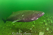 Greenland sleeper shark ( Somniosus microcephalus )<br /> swims among plumose or frilled anemones<br /> ( Metridium senile ) St. Lawrence River estuary Canada<br /> (this shark was wild & unrestrained; it was not hooked<br /> and tail-roped as in most or all photos from the Arctic)