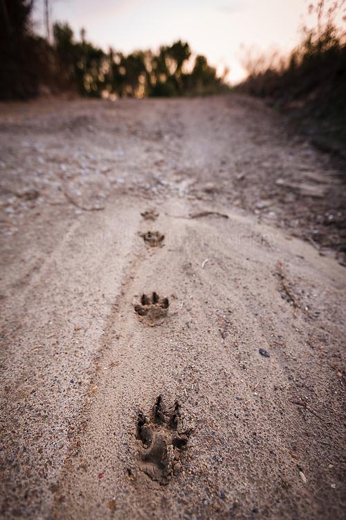 Coyote tracks, Trinity River Audubon Center, Dallas, Texas, USA.