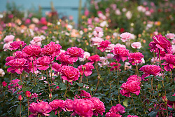 Drifts of roses with Rosa 'Princess Alexandra' in the foreground