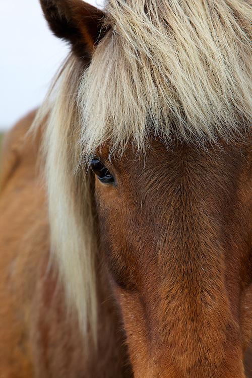 Icelandic horse near Péturseyjarvegur on the south coast of Iceland.