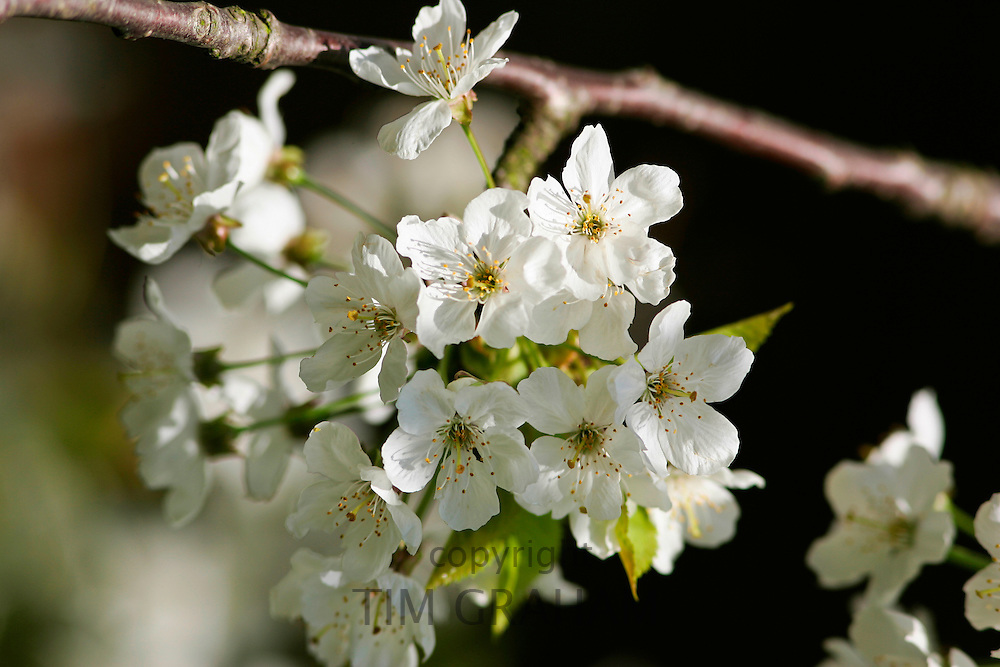 Cherry Blossom growing, England