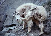 Mountain Goat, Oreamnos americanus, scratching his beard, Kootenay National Park, British Columbia, Canada.