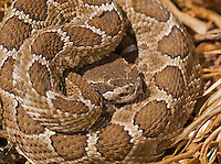 Northern Pacific rattlesnake, Crotalus viridis oreganus, in a resting coil. The snake's heat-sensing pit is visible below and in front of the eye. Mount Diablo State Park, California